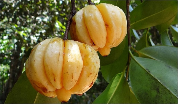 The Truth About Garcinia Cambogia